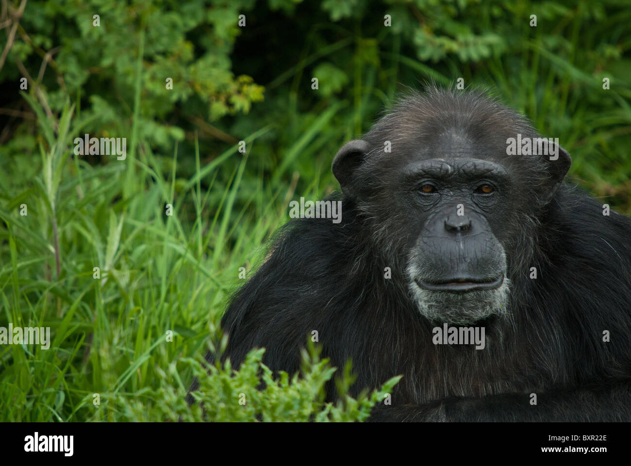 An aging Chimpanzee with greying hair - Stock Image