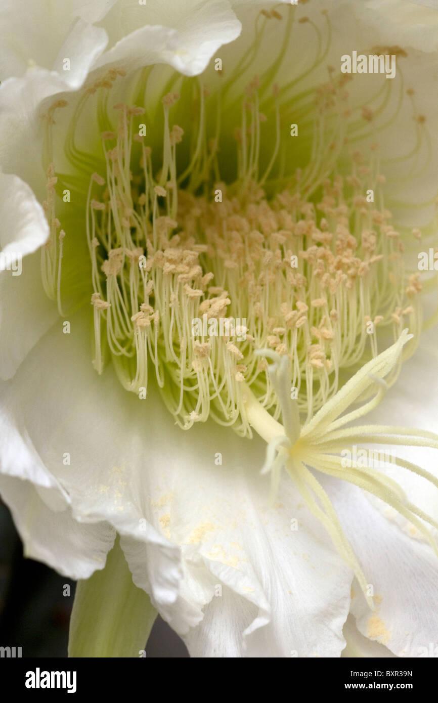 Night flowering cactus (Hylocereus undatus) close up - Stock Image