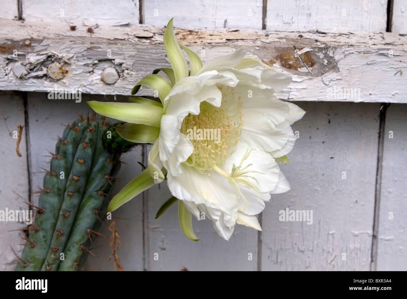 Night flowering cactus (Hylocereus undatus) - Stock Image