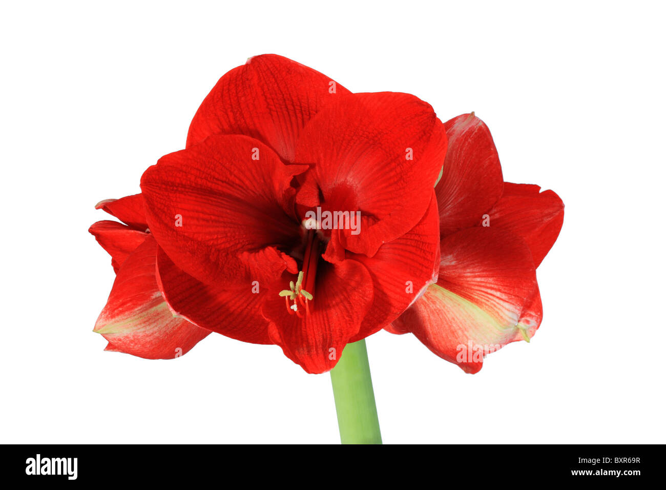 large red amaryllis flower isolated on white background Stock Photo