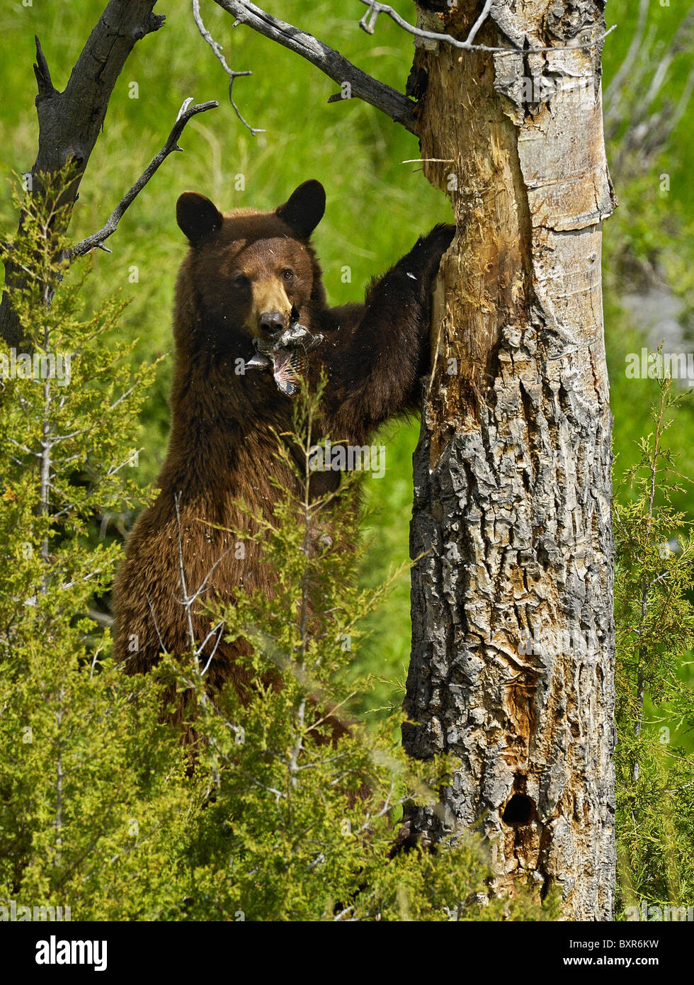 Cinnamon-colored Black Bear excavates baby bird from cavity nest of woodpeckers (Northern Flicker). - Stock Image