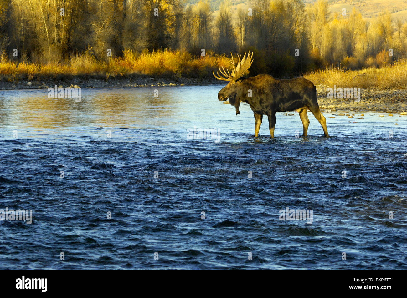 Bull Moose crossing the Gros Ventre River in Grand Teton National Park at sunset. Stock Photo