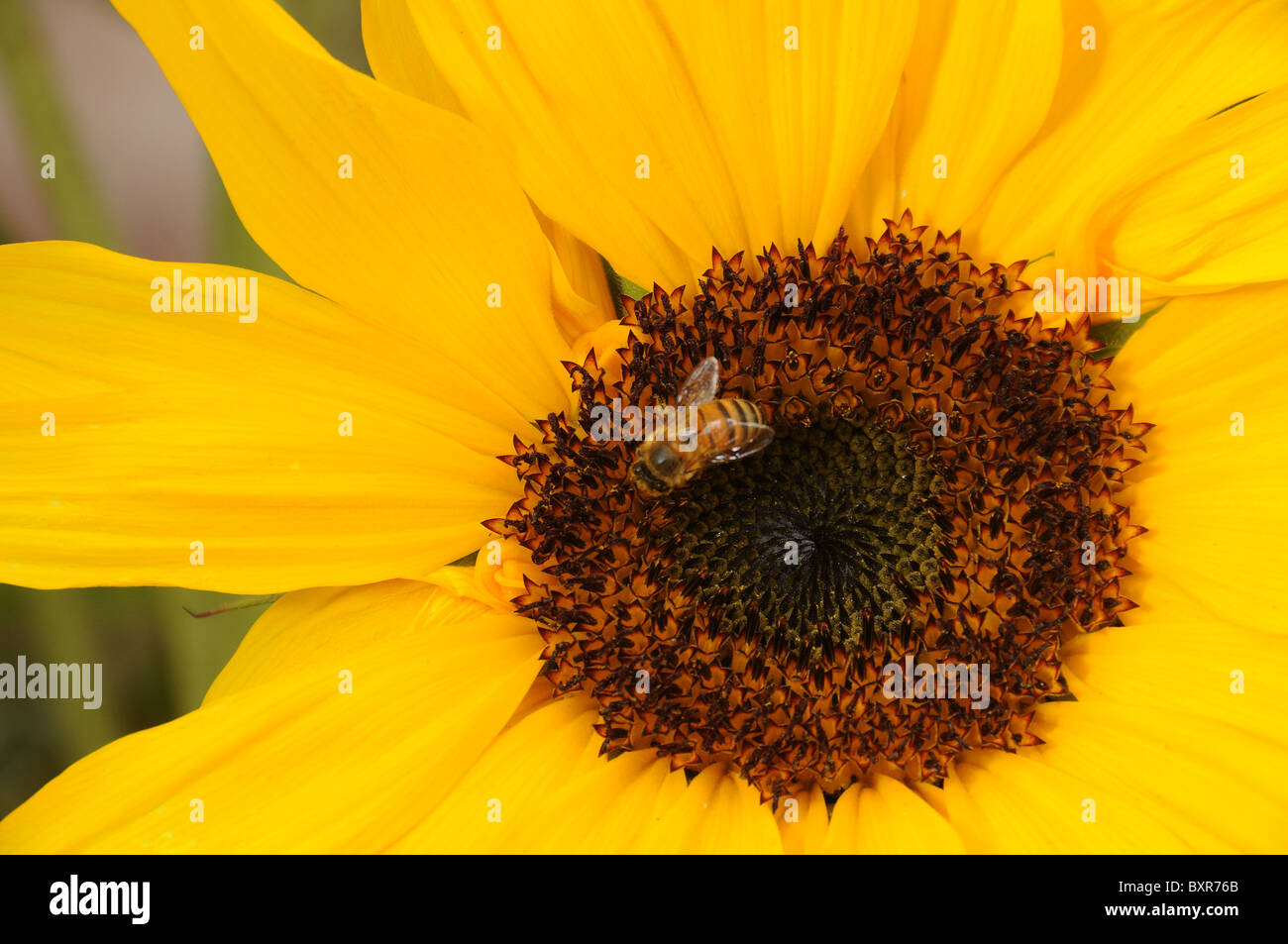 A bee on a sunflower in Tucson, Arizona, USA. - Stock Image