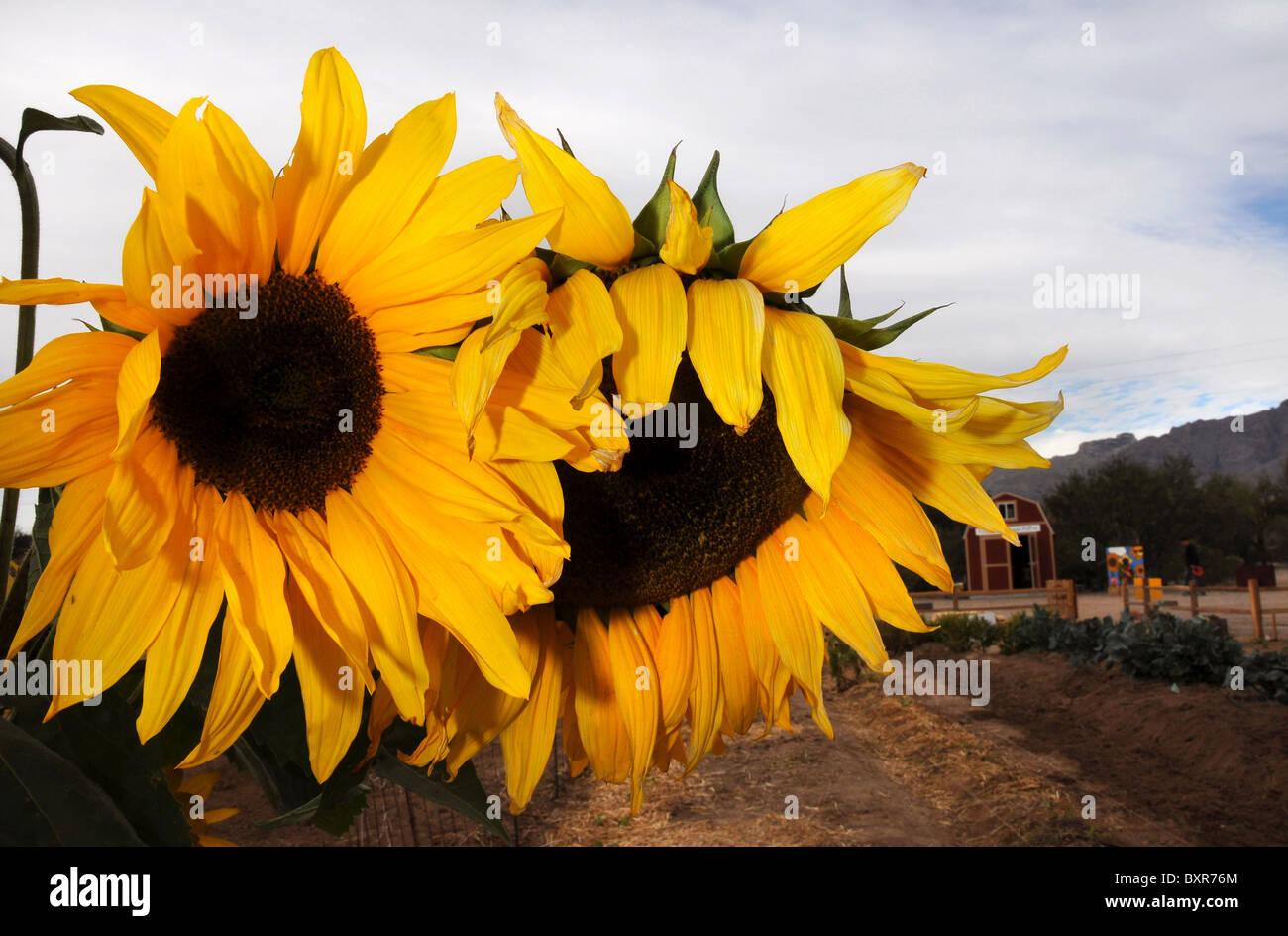 Sunflowers in Tucson, Arizona, USA. - Stock Image