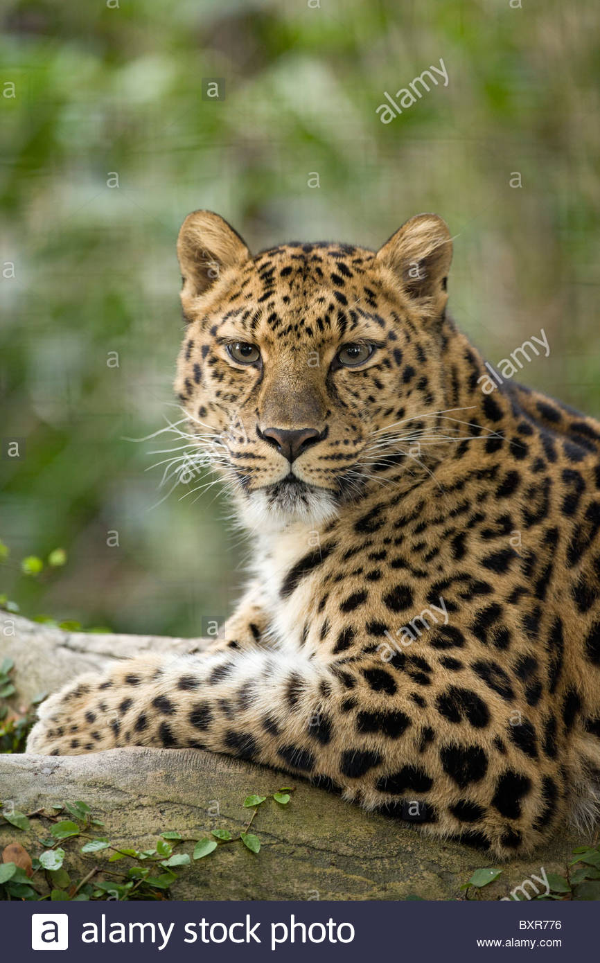Amur Leopard, Jacksonville Zoo, Florida - Stock Image