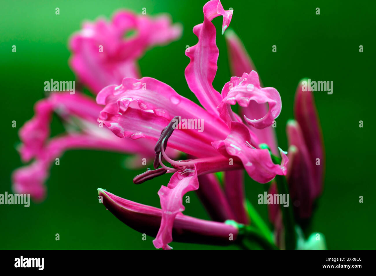 nerine codora pink flowers wrinkled petals bulbous perennial - Stock Image