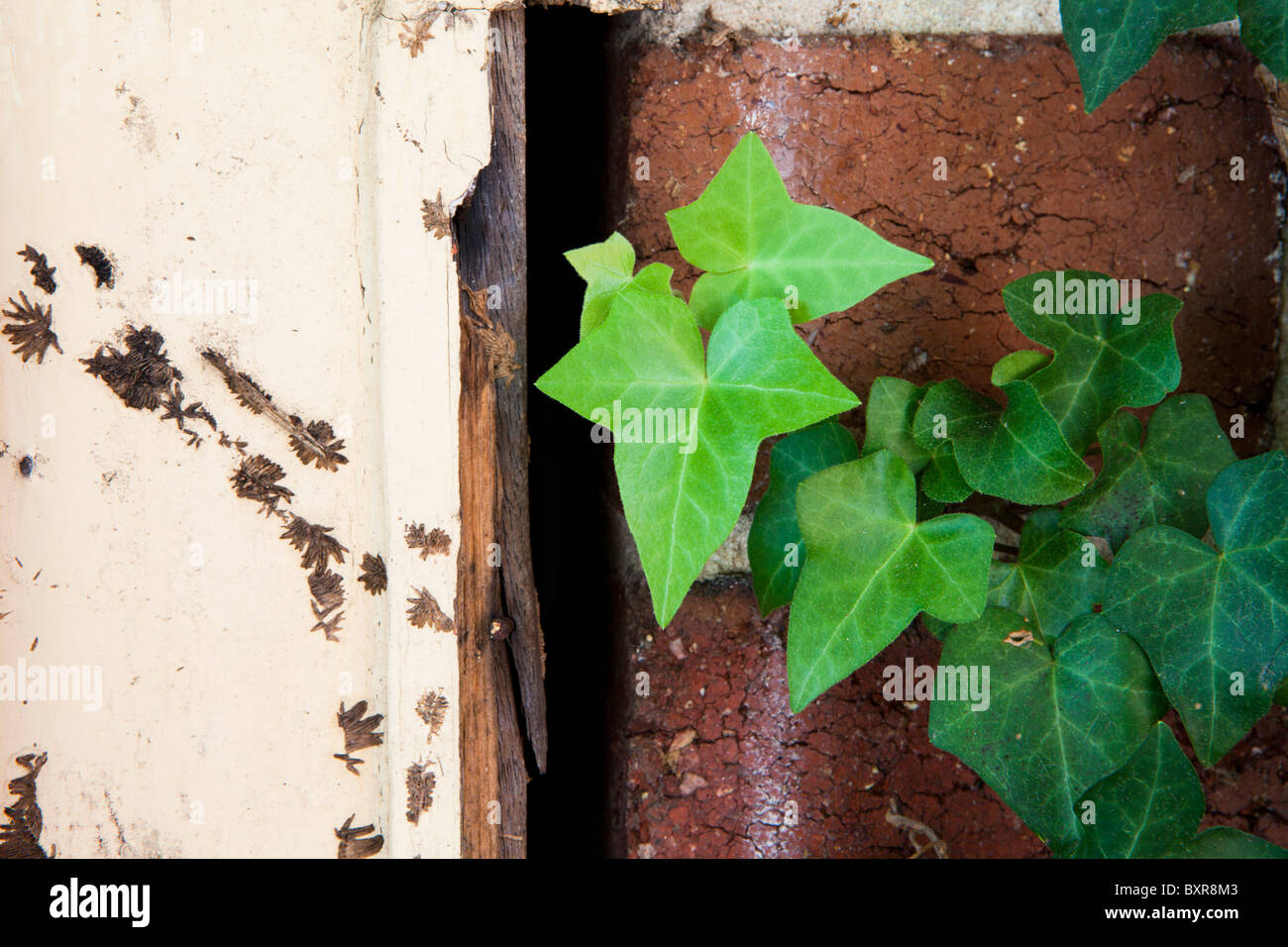 A door frame damaged from old ivy growth next to new growth. - Stock Image
