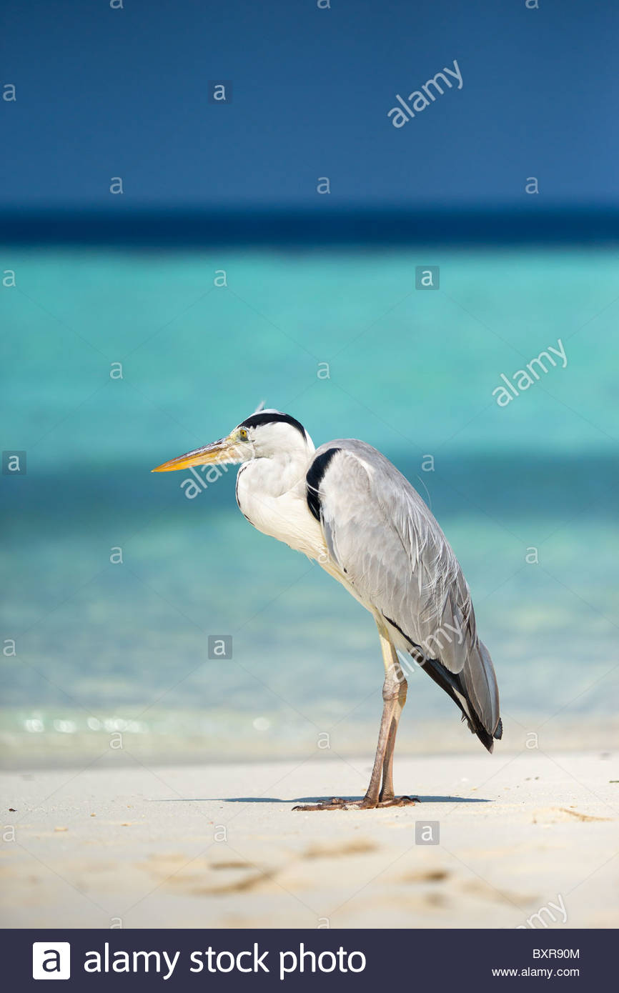 Grey Heron - Ardea cinerea - in front of lagoon in the Maldives - Stock Image