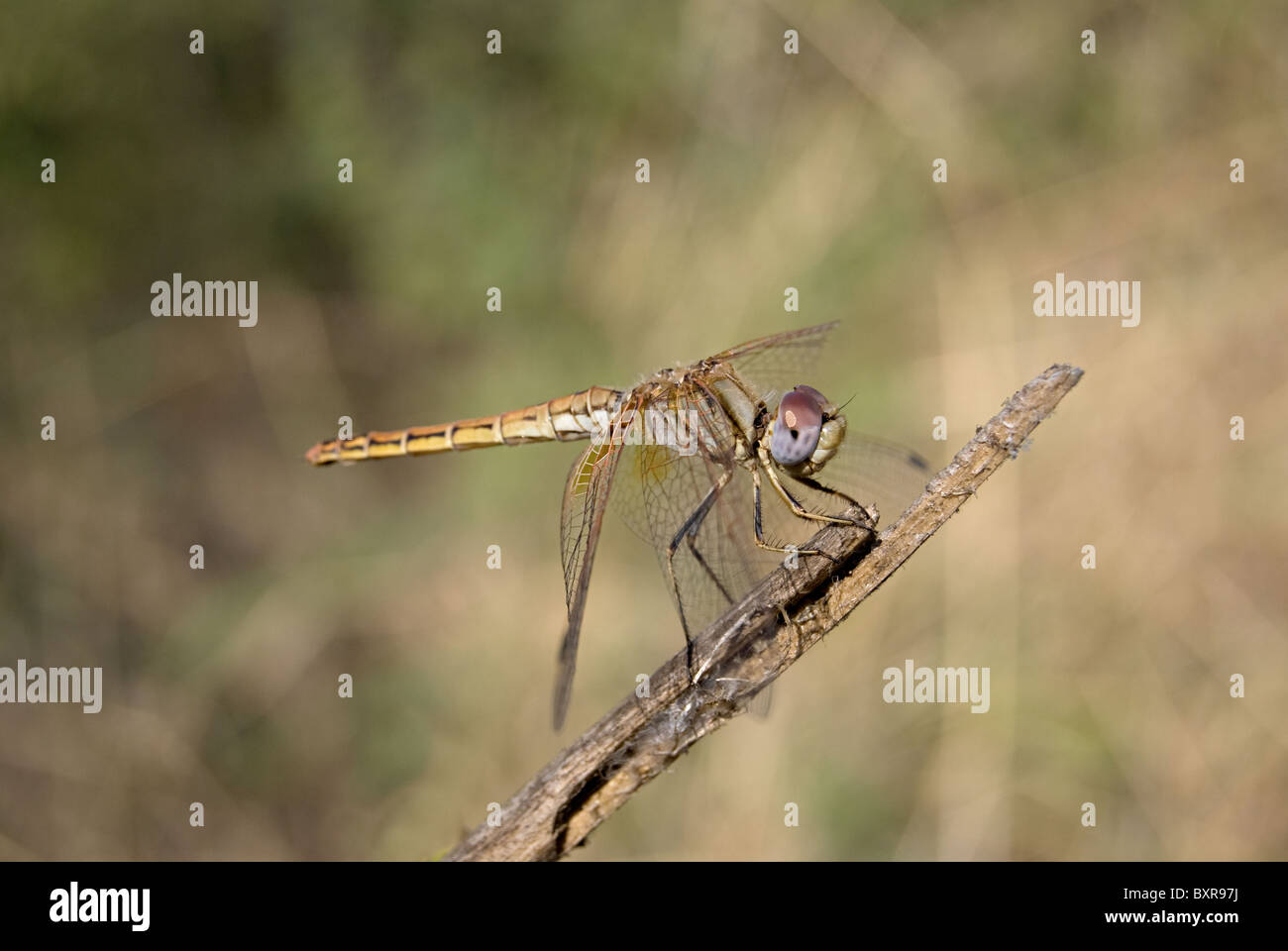 Crimson marsh glider, Scientific name: Trithemis aurora - Stock Image