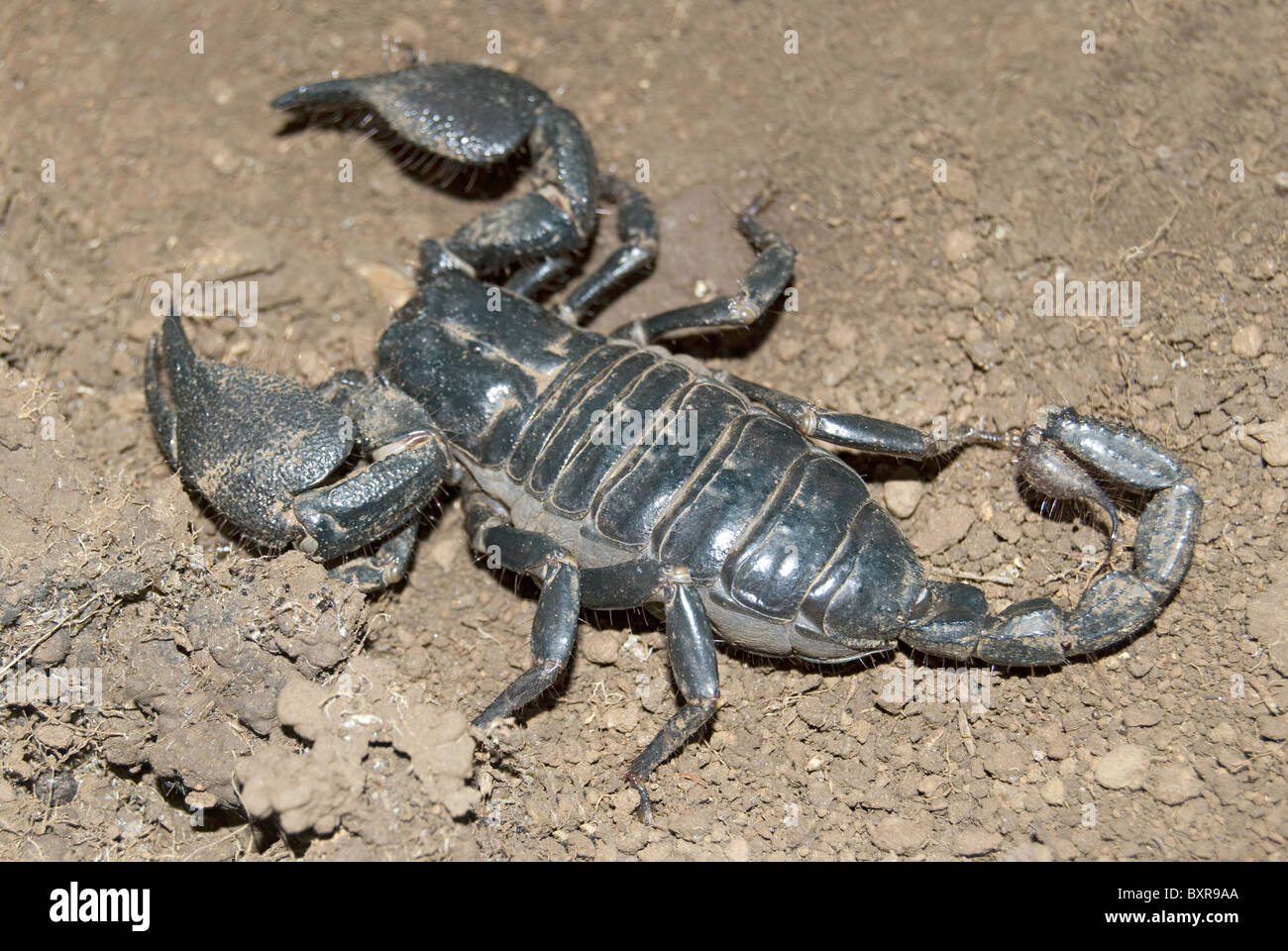 Scorpion,  Scientific Name: Heterometrus spp - Stock Image