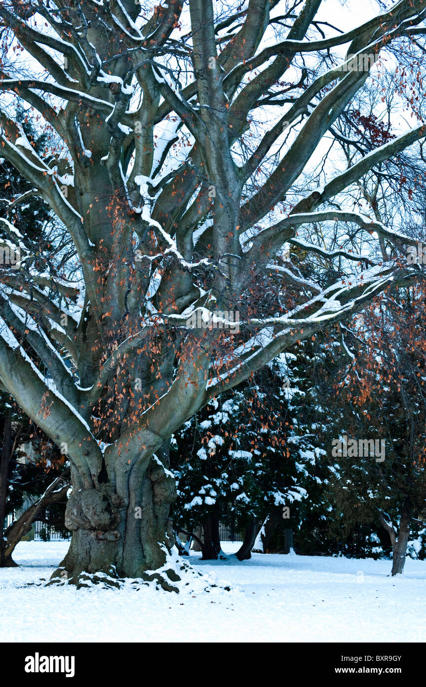 Mature Beech tree,in winter with snow laden  branches, and a few remaining gold / copper Autumn leaves. UK. - Stock Image