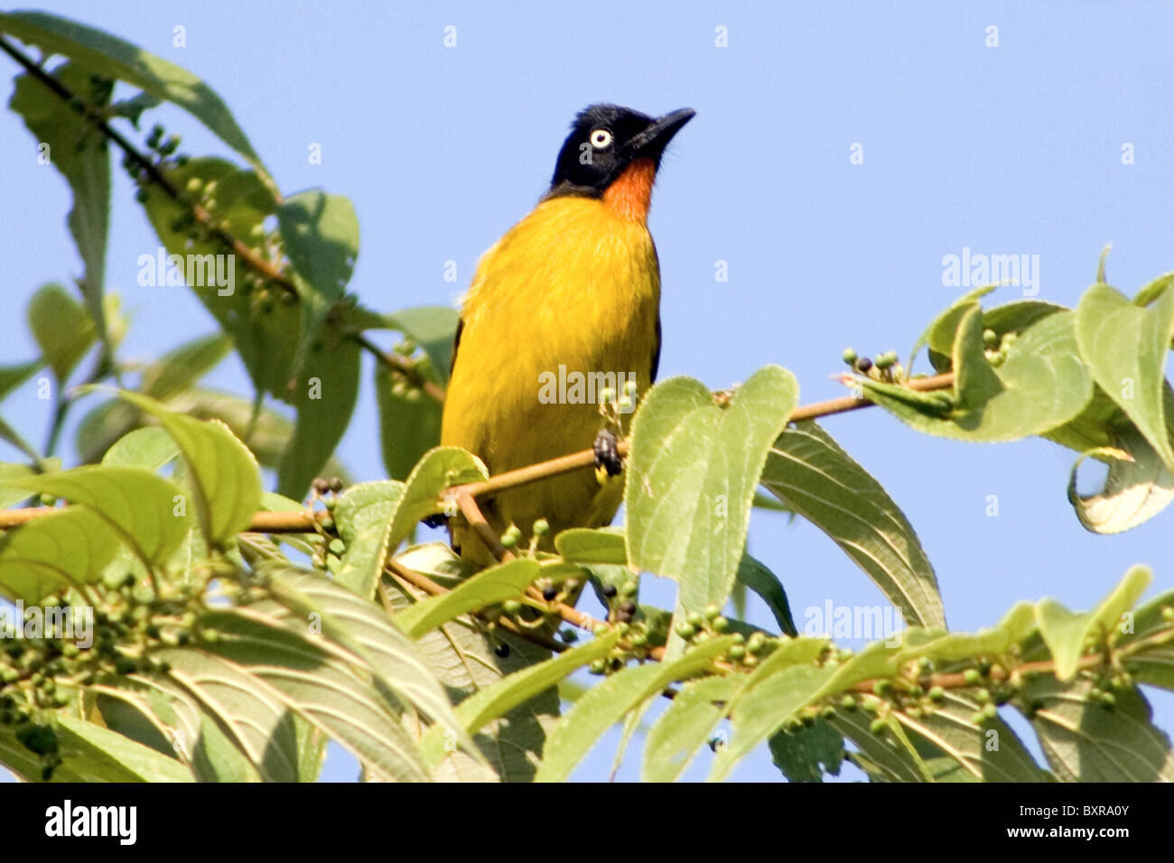 Black-crested bulbul, Pycnonotus flaviventris  - family, Pycnonotidae. Medium-sized passerine songbirds.Goa's - Stock Image