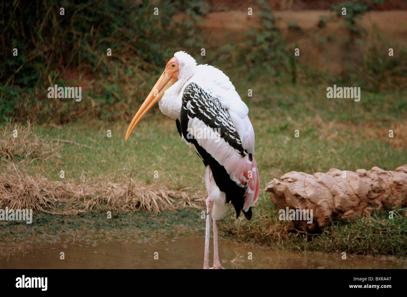 The Painted Stork (Mycteria leucocephala) is a large wading bird in the stork family. Bharatpur  Bird Sanctuary.Well - Stock Image