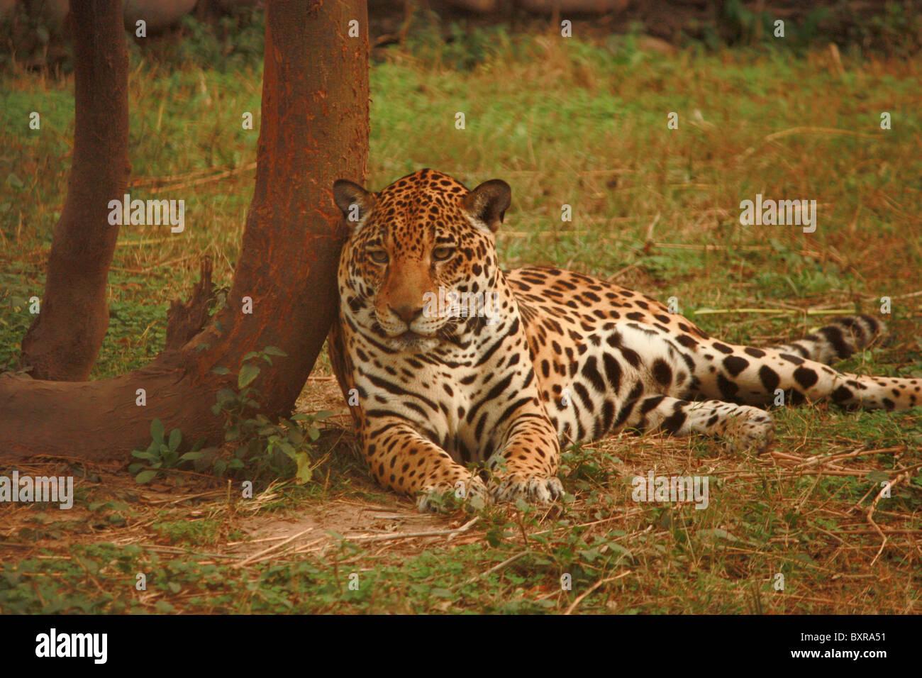 66fbeeaa90 The leopard Panthera pardus