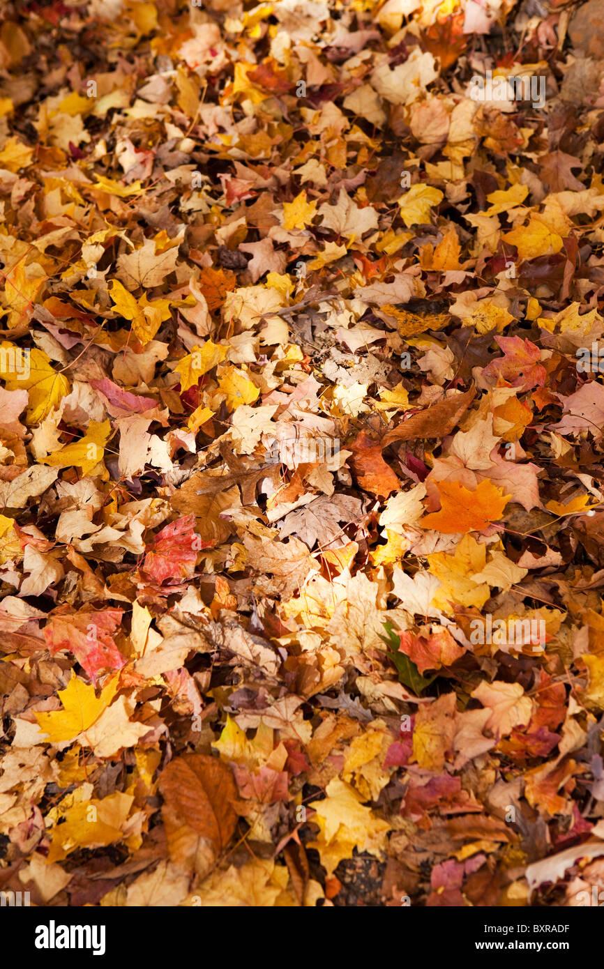 Fallen Autumn Leaves - Stock Image
