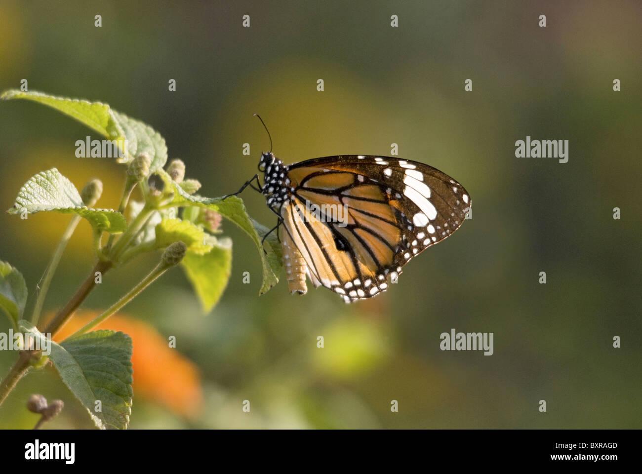 MONARCH BUTTERFLY Danaus plexippus Milkweed butterfly (subfamily Danainae), in the family Nymphalidae. Closeup on Stock Photo