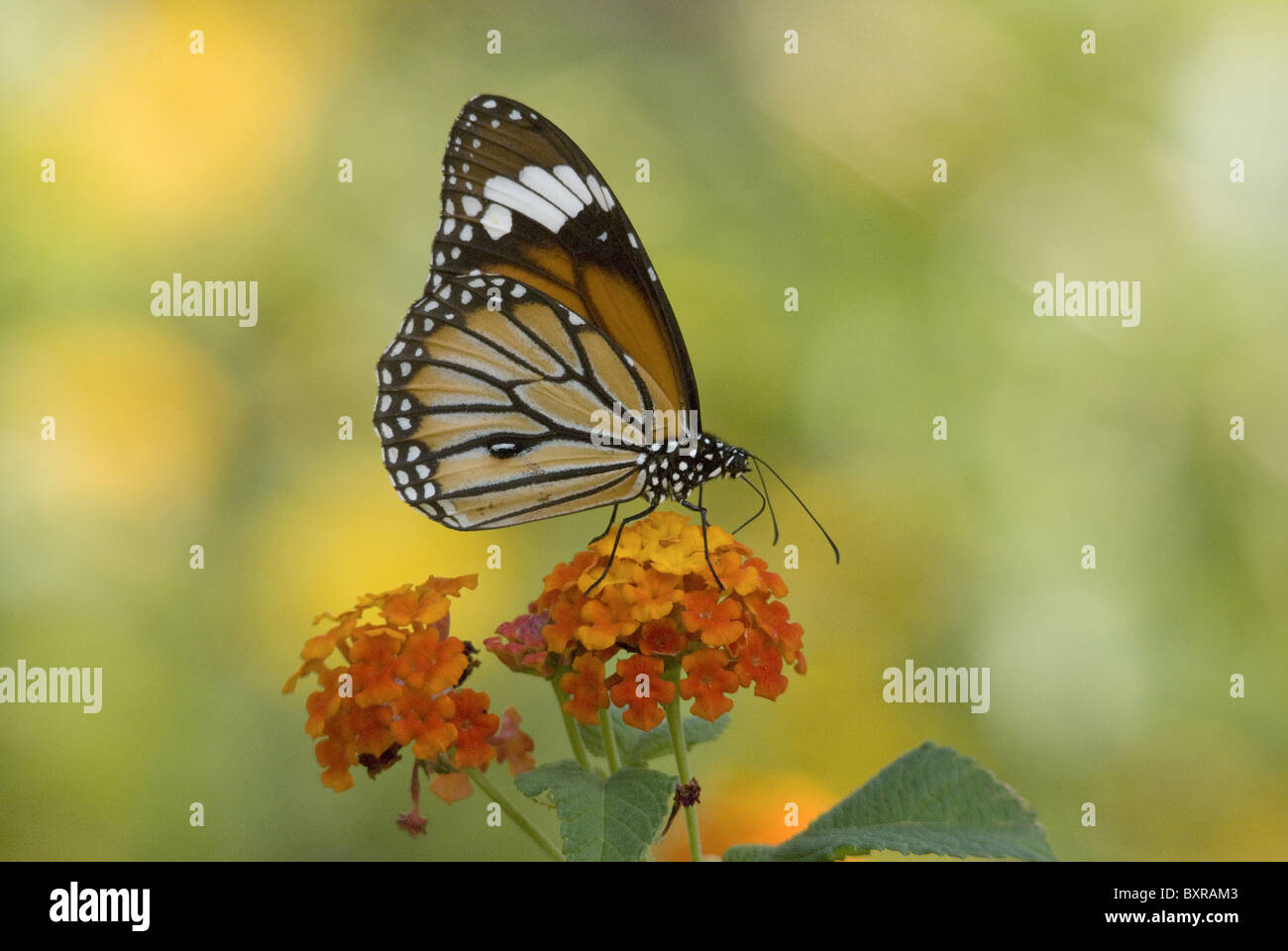 MONARCH BUTTERFLY Danaus plexippus Milkweed butterfly (subfamily Danainae), in the family Nymphalidae. On lantana Stock Photo