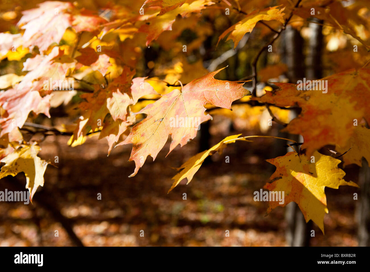 Autumn leaves on branch - Stock Image