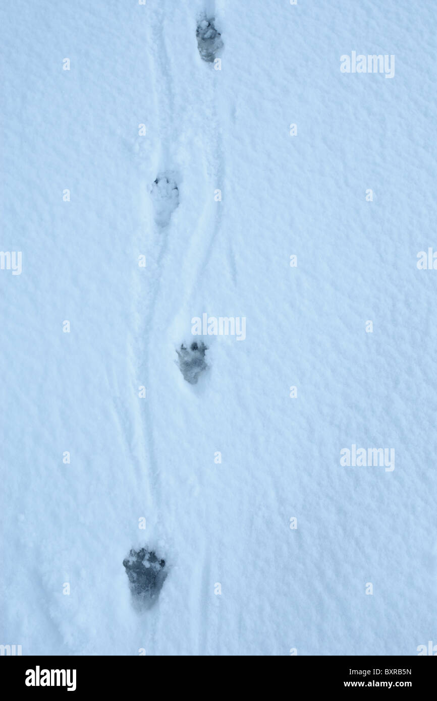 Tracks of European Otter (Lutra lutra) in the snow - Stock Image