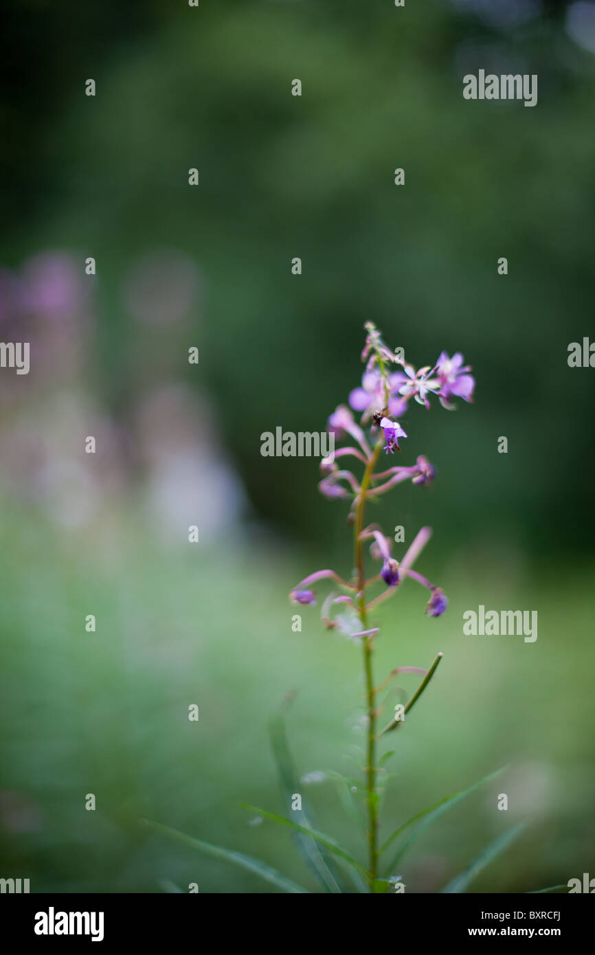 Purple Flowers Growing On A Spindly Plant Stock Photo 33706166