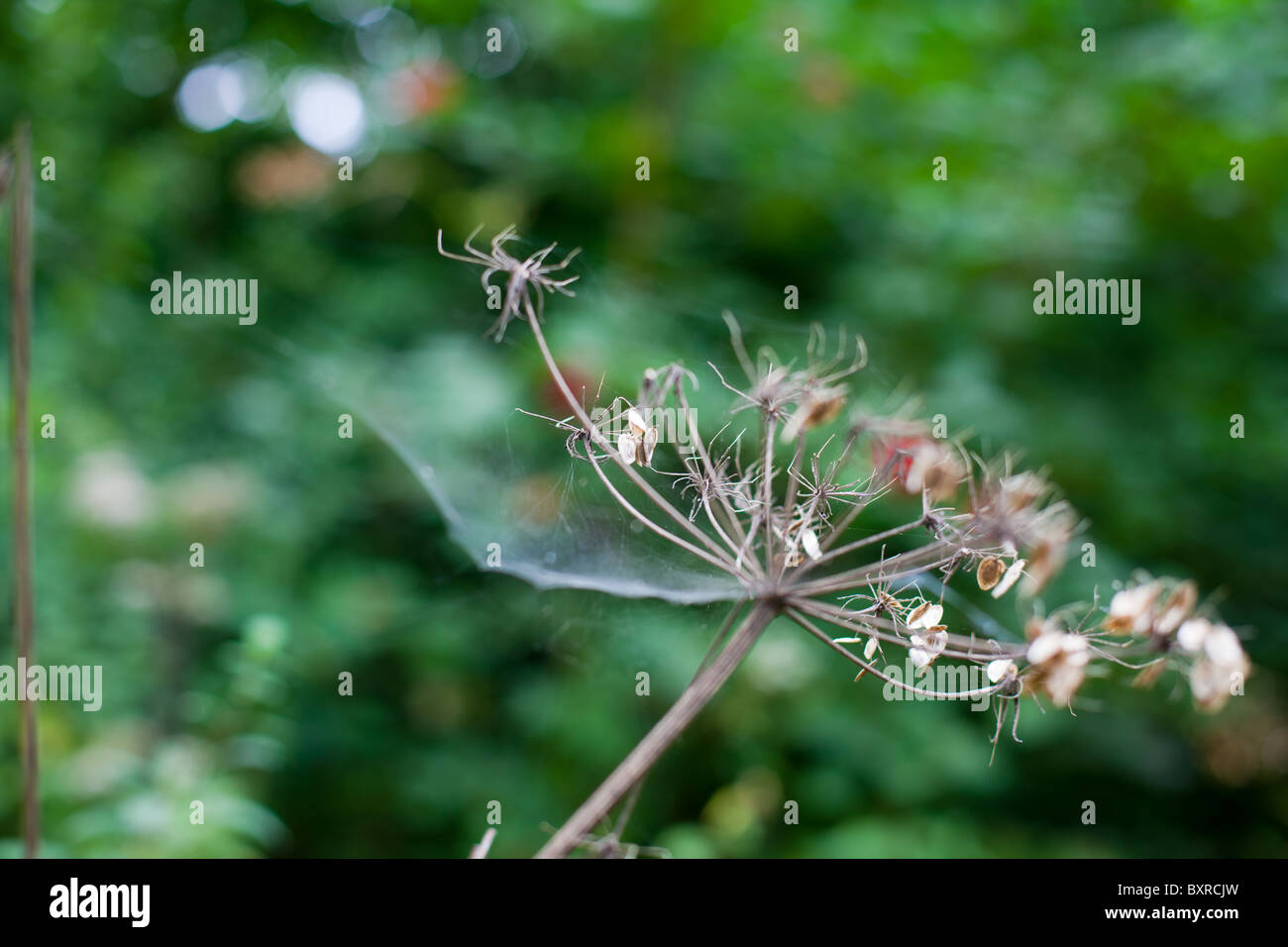 Cobwebs on a dead plant - Stock Image
