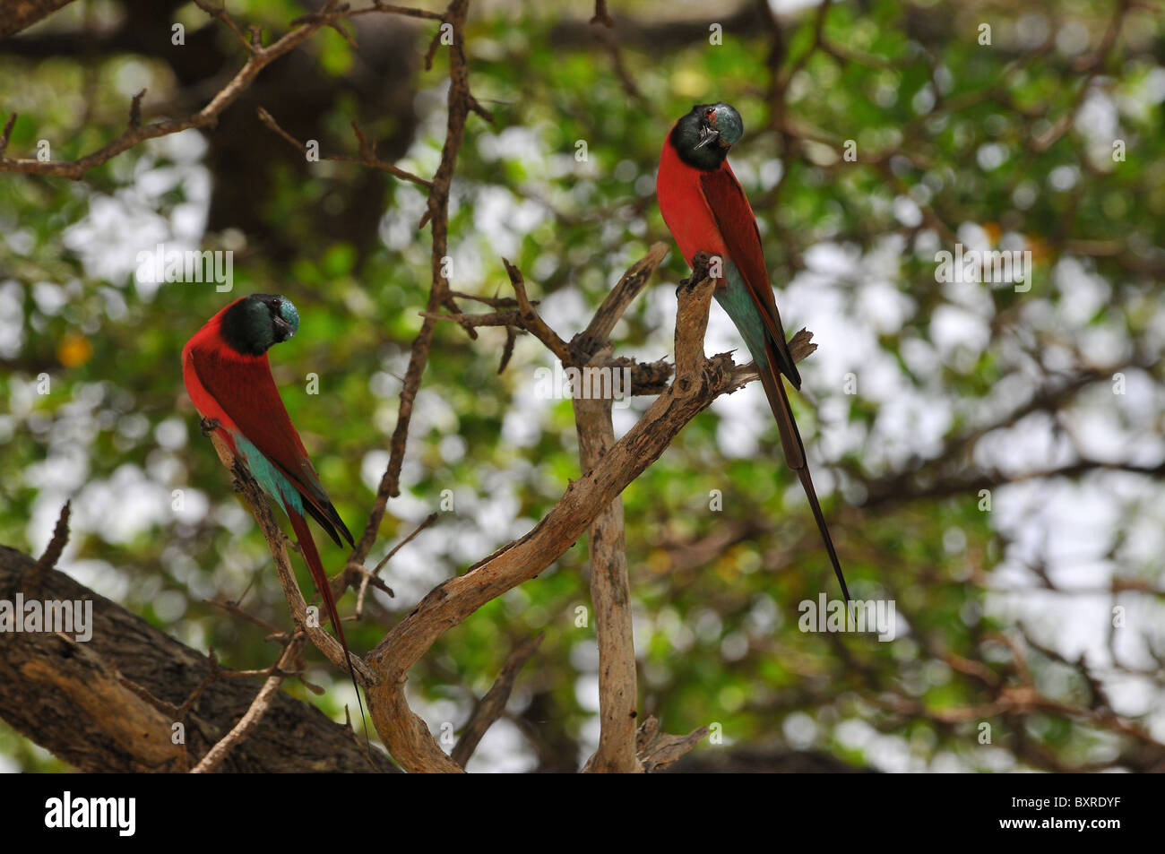 Carmine Bee Eaters - Stock Image