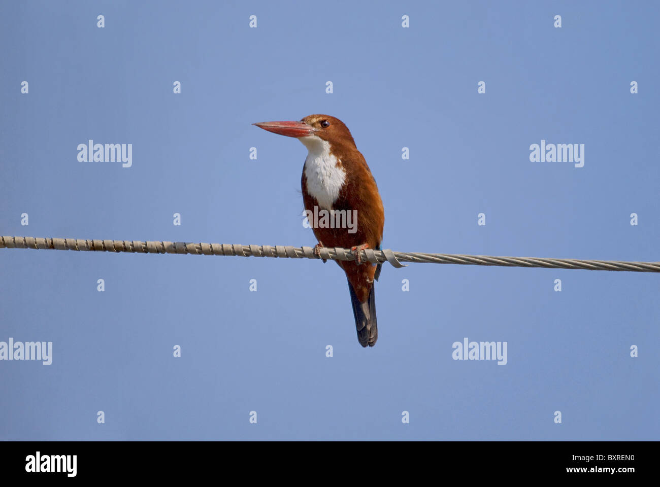 White Throated Kingfisher,   Scientific name of the species: Halcyon smyrnensis - Stock Image