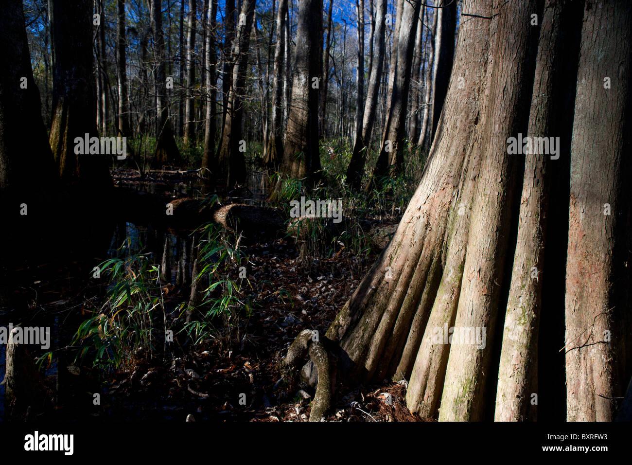 Base of large tree illuminated by sunlight, Congaree National Park, South Carolina, United States of America - Stock Image