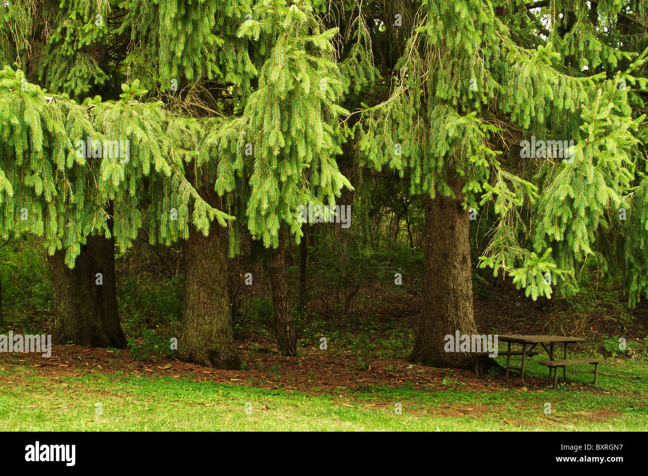 Evergreen trees and secluded picnic table. Moraine Hills State Park, Illinois. - Stock Image