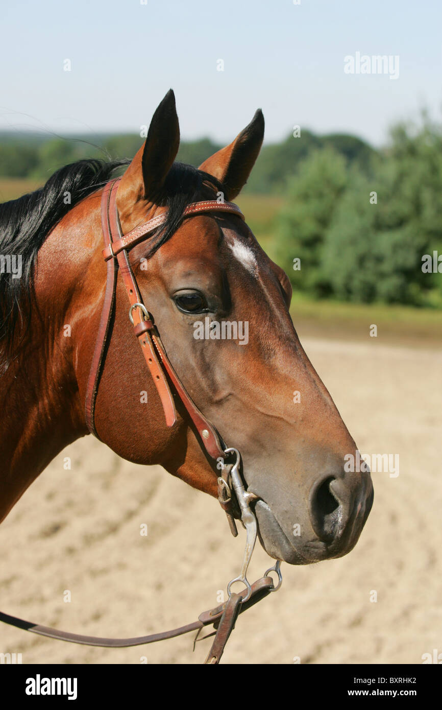 Horse Wearing Western Bridle Stock Photo Alamy