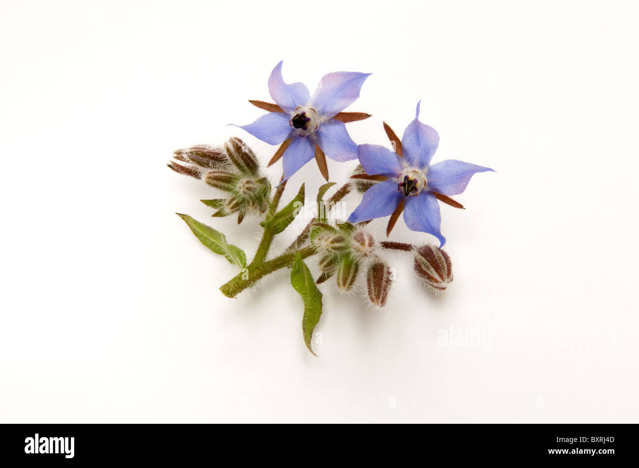 Borage flowers and buds on stem - Stock Image