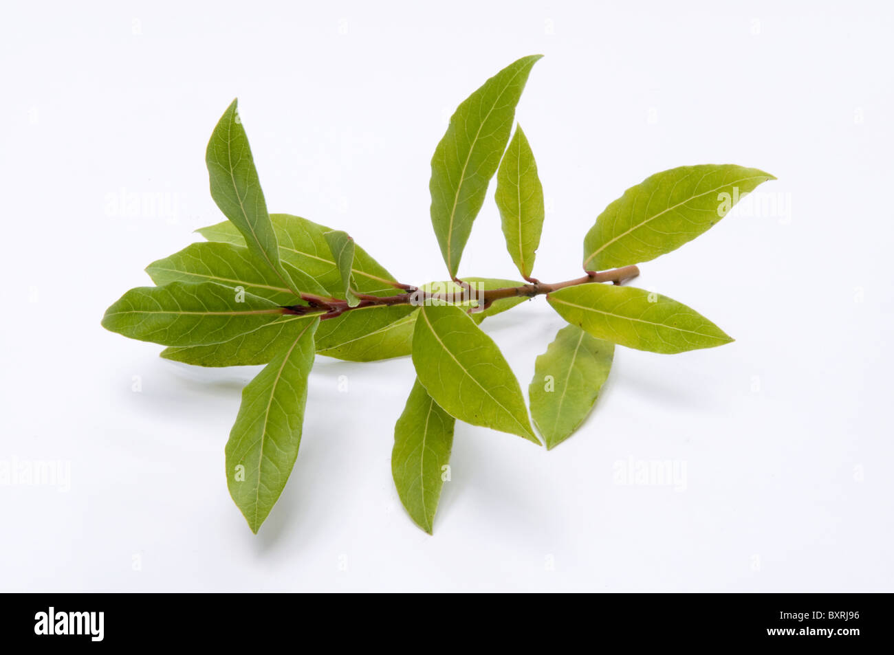 Close-up of bay leaves on branch - Stock Image