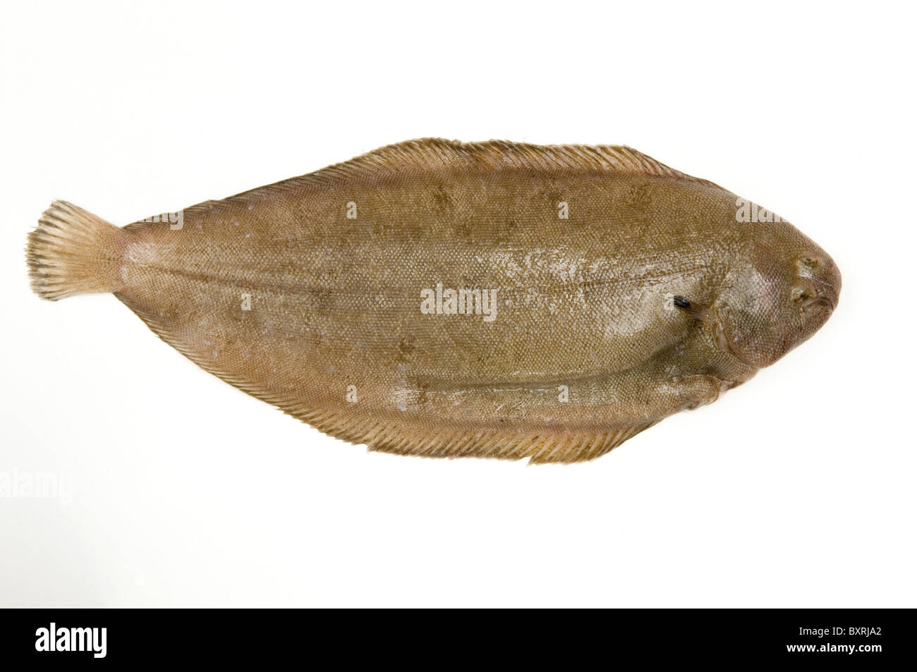 Close-up of dover sole - Stock Image