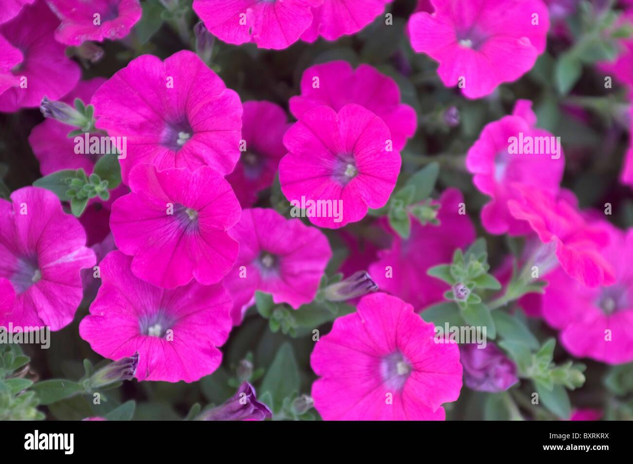 Lithuania, Vilnius, Petunias in bloom - Stock Image