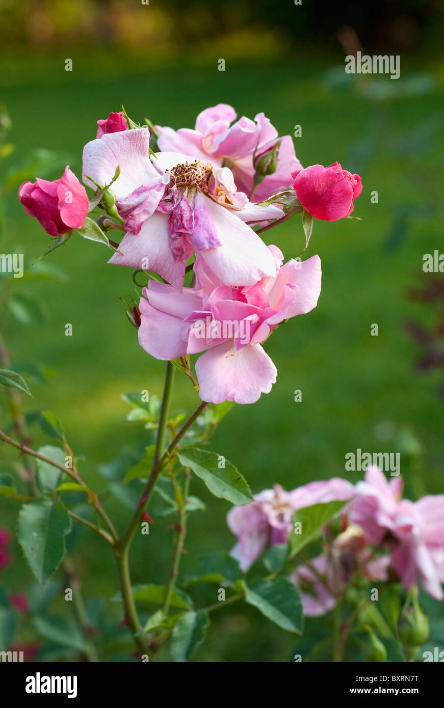 Withered rosy rose in a garden on a green grass background - Stock Image