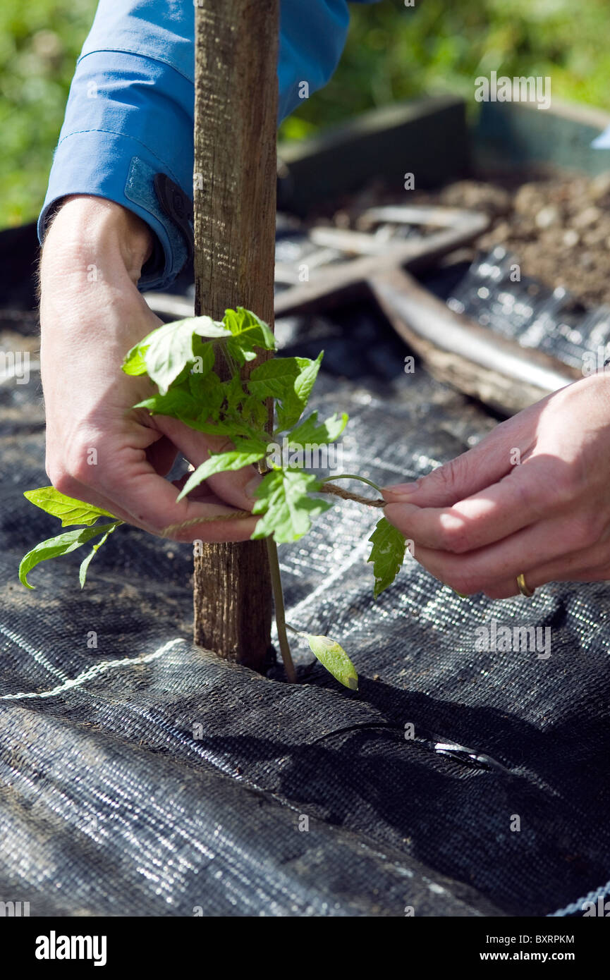 Person tying tomato plant seedling to wooden support above mulch sheet - Stock Image
