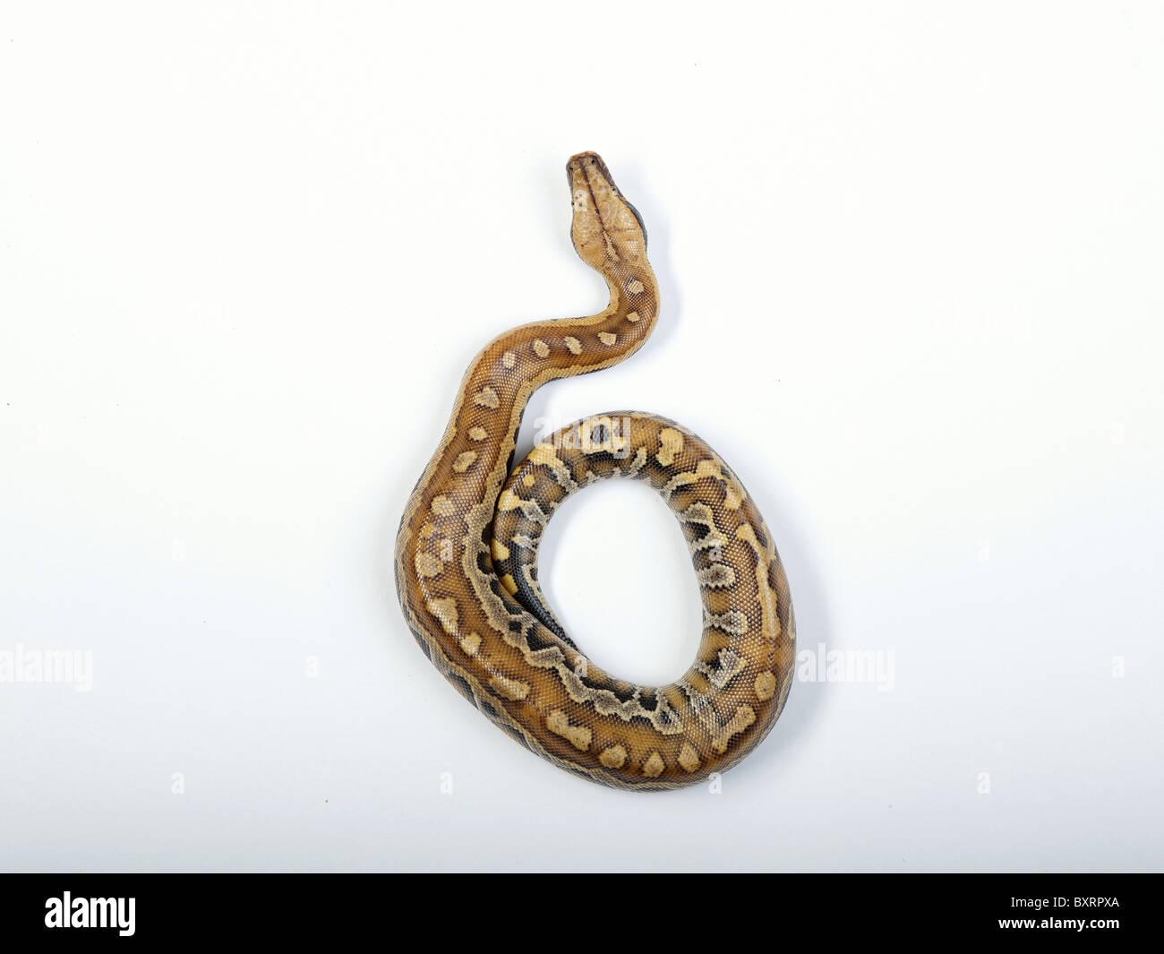 Blood python (Python curtus brongersmai) - Stock Image