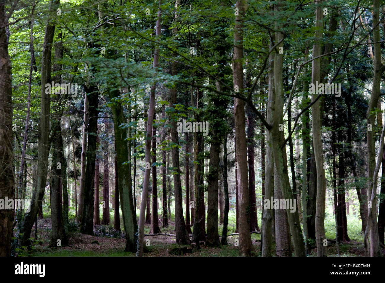 France, Normandie, Foret d'Eu, View of forest - Stock Image