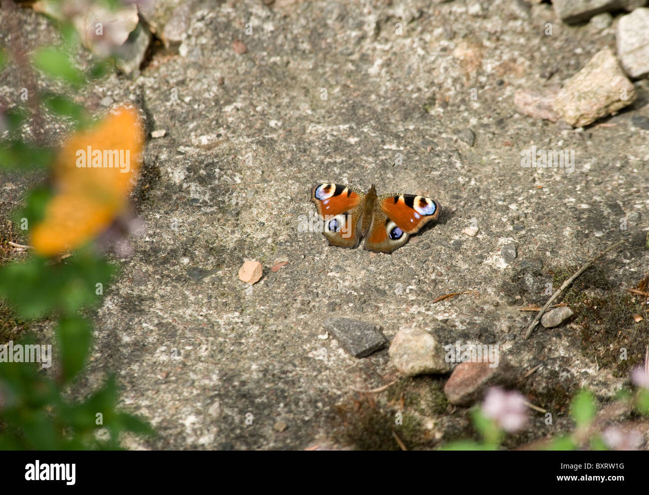 A European peacock (butterfly) that's landed on a stone patio eyespots are visible - Stock Image