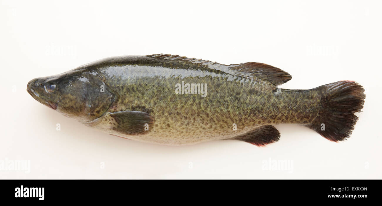 Murray Cod (Maccuilochelia peelii peelii), close-up - Stock Image