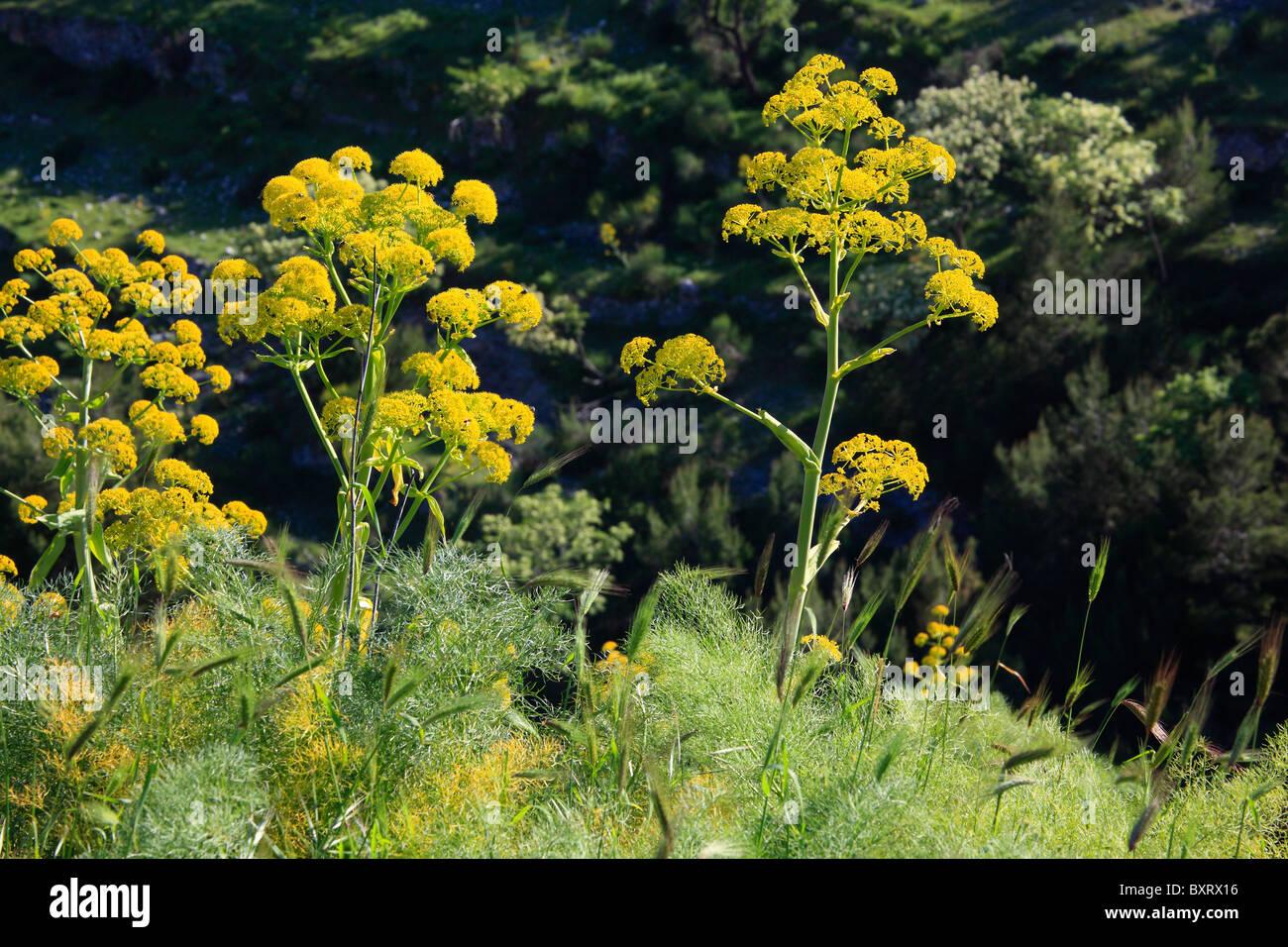Giant fennel, Ferula communis - Stock Image