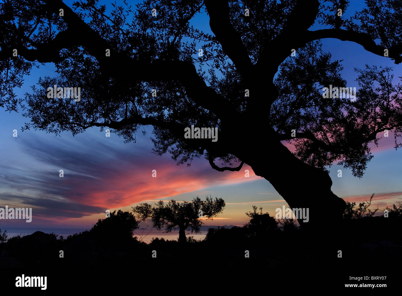 Olive Tree at dusk - Stock Image