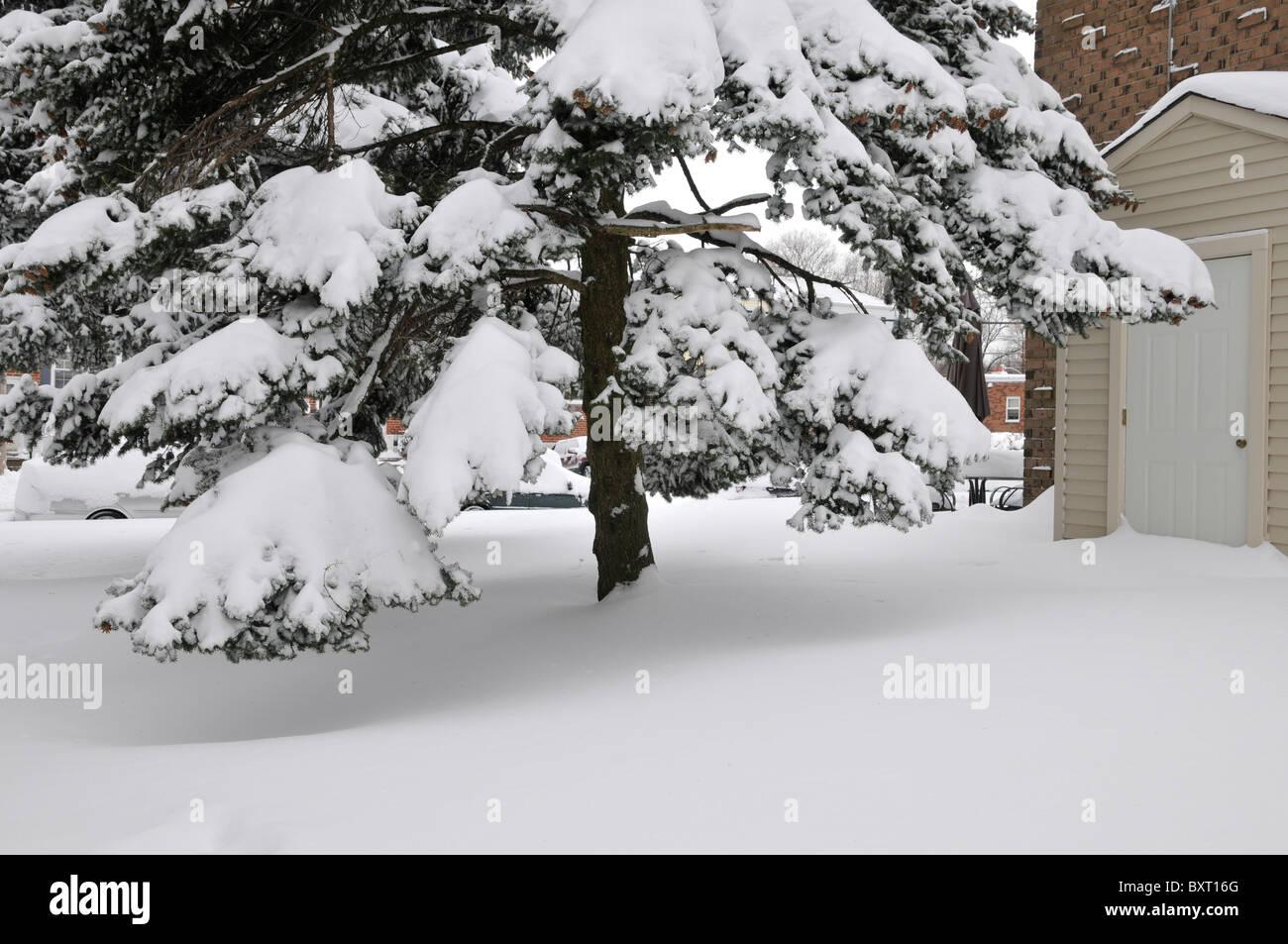 Conifer tree in the yard of condominium with snow,Philadelphia, PA, USA - Stock Image