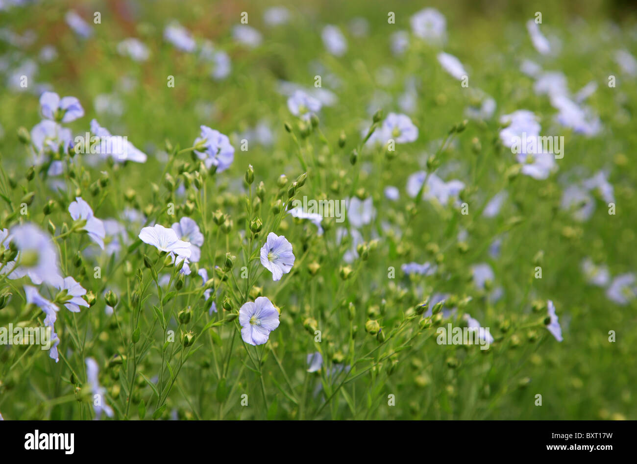 Field of flax plants - Stock Image