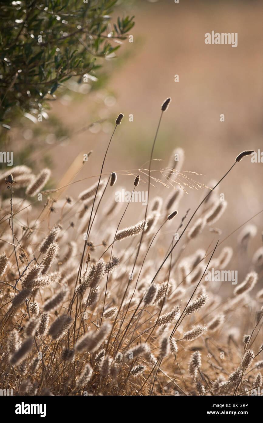 Wild grasses - Stock Image