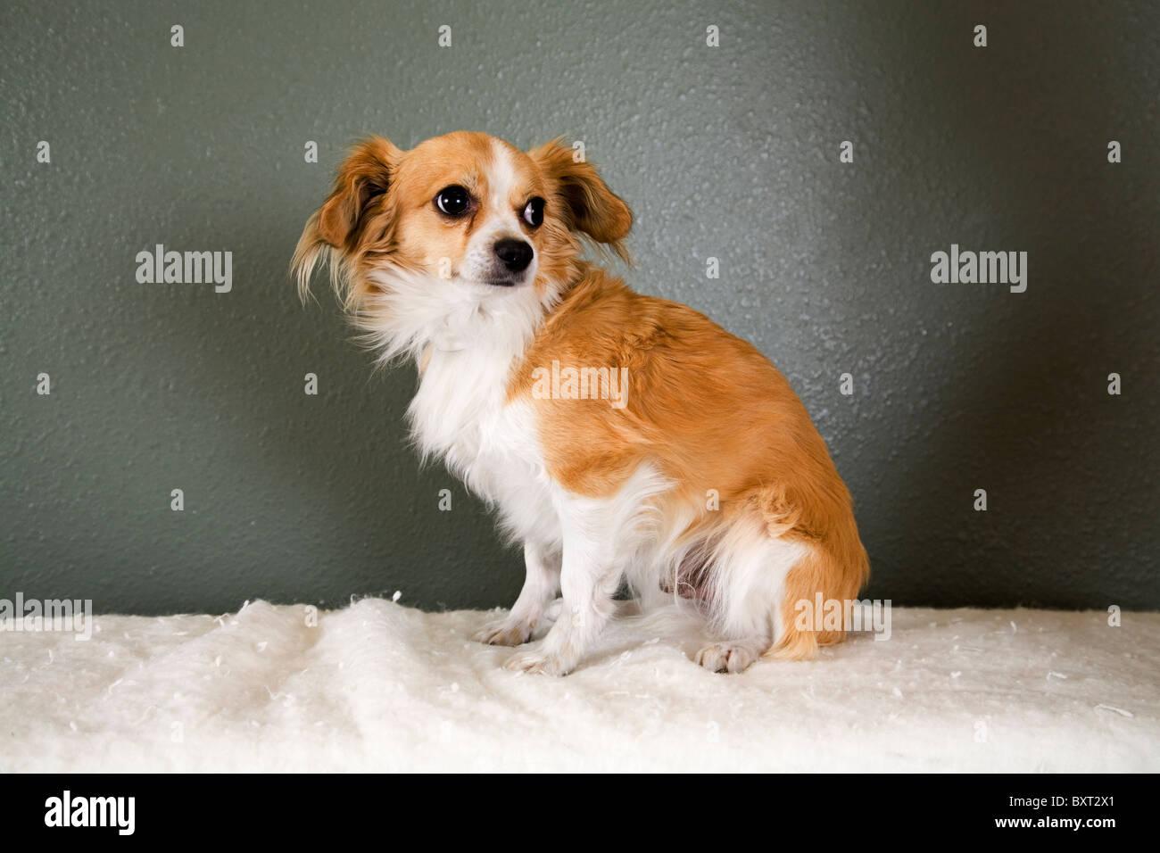 A Pekinese and Chihuahua cross dog - Stock Image