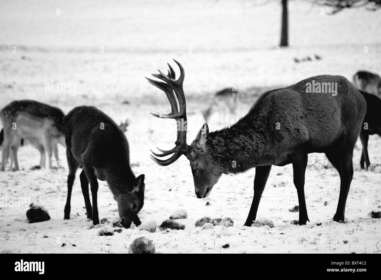 Red deer in the snow during the winter stock image