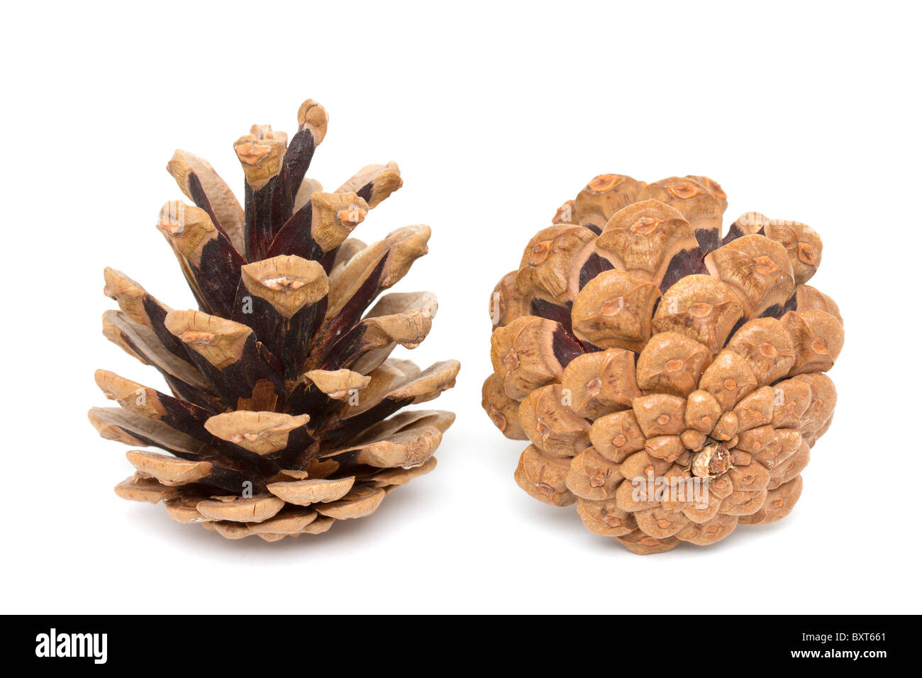 Two pine cones on white background - Stock Image