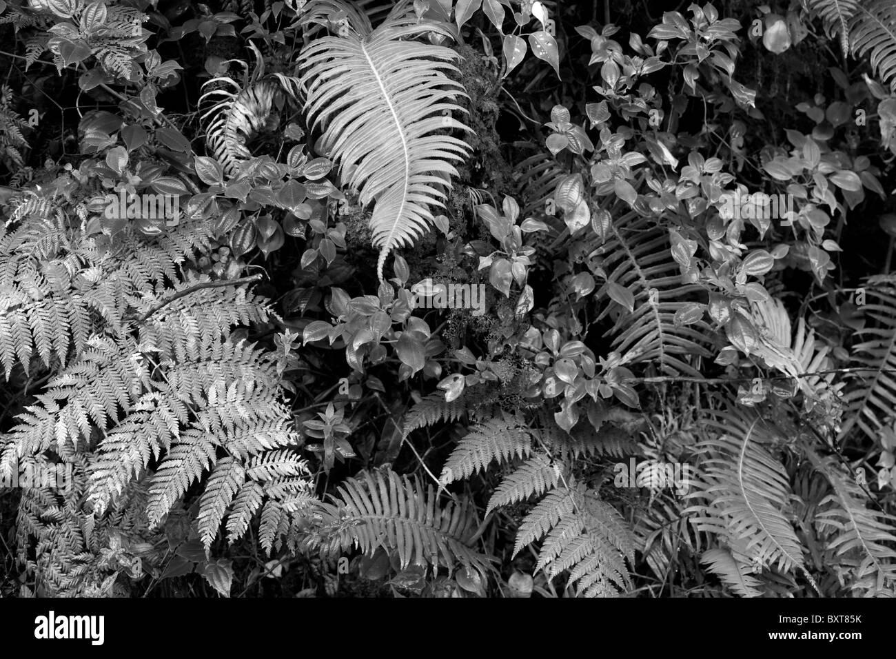 Costa Rica, Volcan Poas National Park, Rainforest vegetation on volcanic slope - Stock Image