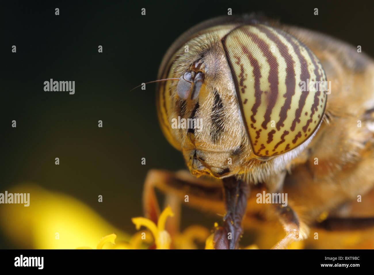 A male drone hoverfly collecting pollen into a yellow flower. - Stock Image